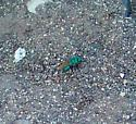 Little Blue Bee looks green in photo - Parnopes edwardsii