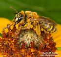 Bee - Andrena accepta