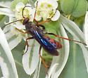 Tachypompilus ferrugineus - female