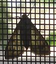 Moth with complicated pattern - Asciodes gordialis