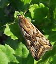 Alfalfa Webworm - Loxostege cereralis