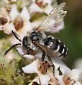 Xeromelecta californica - Brachymelecta californica - male