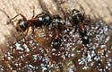 Ants - Camponotus chromaiodes