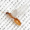 Thief Ant - Solenopsis