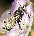 Flower bee ID - Hoplitis
