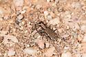 Tiger Beetle - Cylindera viridisticta