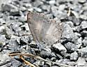 Is this an azure? - Celastrina