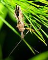 Assassin Bug - Sinea