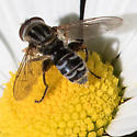 Flower Fly - Lejops? - Lejops