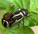 beetles - Calligrapha bidenticola - male - female