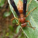 Paper Wasp - Polistes carolina