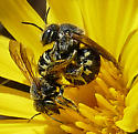 Mating Bees - Dianthidium - male - female