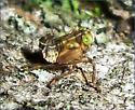 Coppery Leafhopper (nymph) - Jikradia olitoria