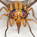 BG1502 D0007 - Chrysops vittatus - female