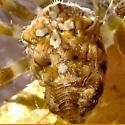 Cross Orbweaver - Araneus diadematus - female