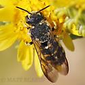 Bee - Dianthidium