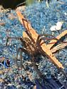Wolf spider?  - Eratigena atrica