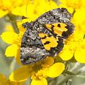 Possible Day Moth - Annaphila