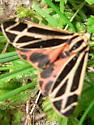 Harnessed Tiger Moth - Apantesis phalerata - female