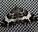 Rheumaptera hastata / subhastata  - Rheumaptera