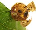 Weevil in oak gall - Cyrtepistomus castaneus