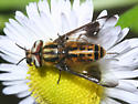 deer fly - Chrysops lateralis - male