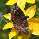 Is this Wild Indigo Duskywing? - Erynnis baptisiae - female
