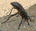Eleodes - Eleodes obscura