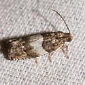 moth - Gypsonoma substitutionis