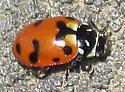 Casey's Lady Beetle - Hippodamia caseyi