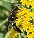 Unidentified Insect - Sphex pensylvanicus