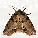Unknown Maine Moth 9 - Pseudothyatira cymatophoroides
