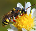 cuckoo bee Nomada vincta? - Nomada