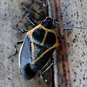 Bug - Perillus strigipes