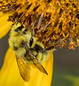 Bumble Bee - Bombus vandykei