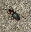 Unknown Indiana Carabidae - Chlaenius tricolor