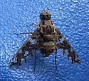 Weird fly bee - Xenox habrosus
