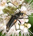 Flower Longhorn - Brachyleptura vagans