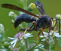 Paper Wasp? - Polistes