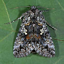Unknown Moth - Syngrapha octoscripta