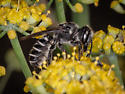 Native bee, maybe Megachile? - Megachile