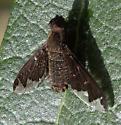 bee fly - Hemipenthes blanchardiana