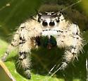 Jumping Spider - Phidippus otiosus - female