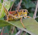 What type of grasshopper? - Romalea microptera - male