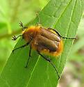 Bumble Bee Scarab - Lichnanthe vulpina