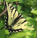 P. appalachiensis/canadiensis - Papilio