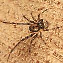 spider - Ero canionis - female