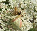 goldenrod crab spider and prey - Misumena vatia