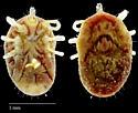 Argasidae sp.?