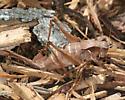 Shieldback - Atlanticus - female